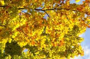 Beech leaves Autumn 2012